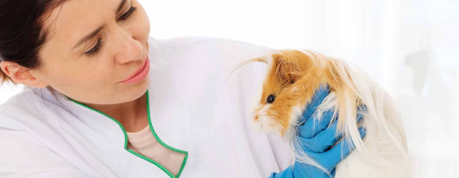 long haired guinea pig being checked by a veterinary specialist