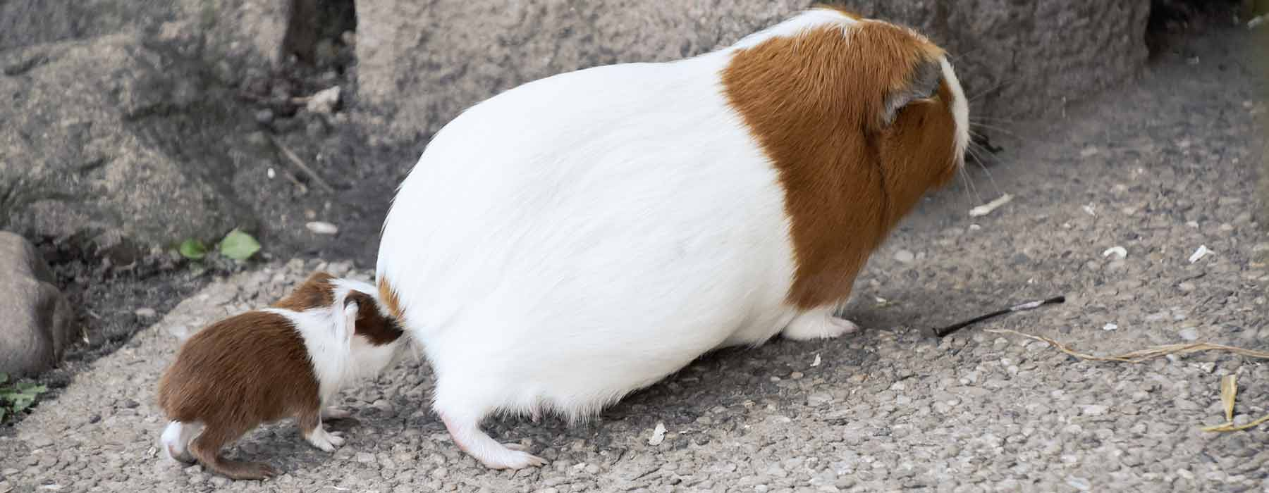 mother guinea pig being followed by a baby guinea pig
