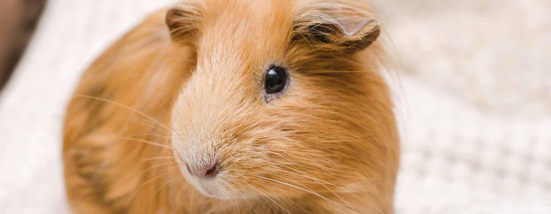 Ginger guinea pig