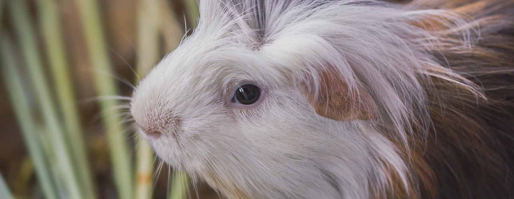 white faced guinea pig