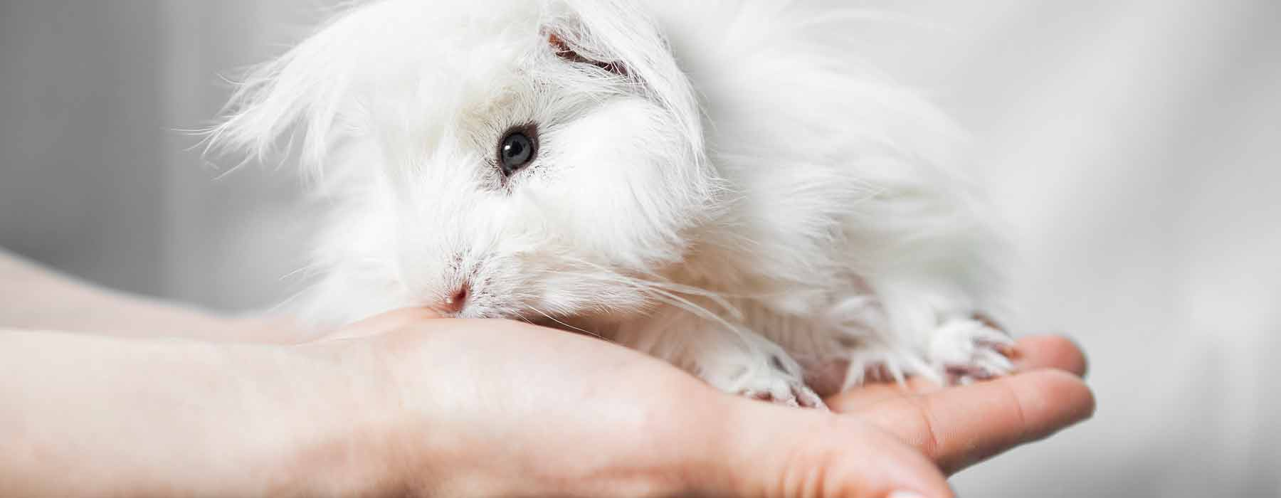 white baby guinea pig sitting on a hand
