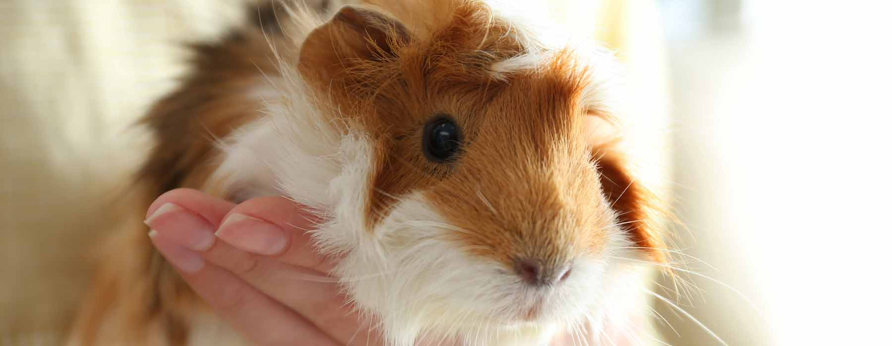 ginger and white guinea pig being held
