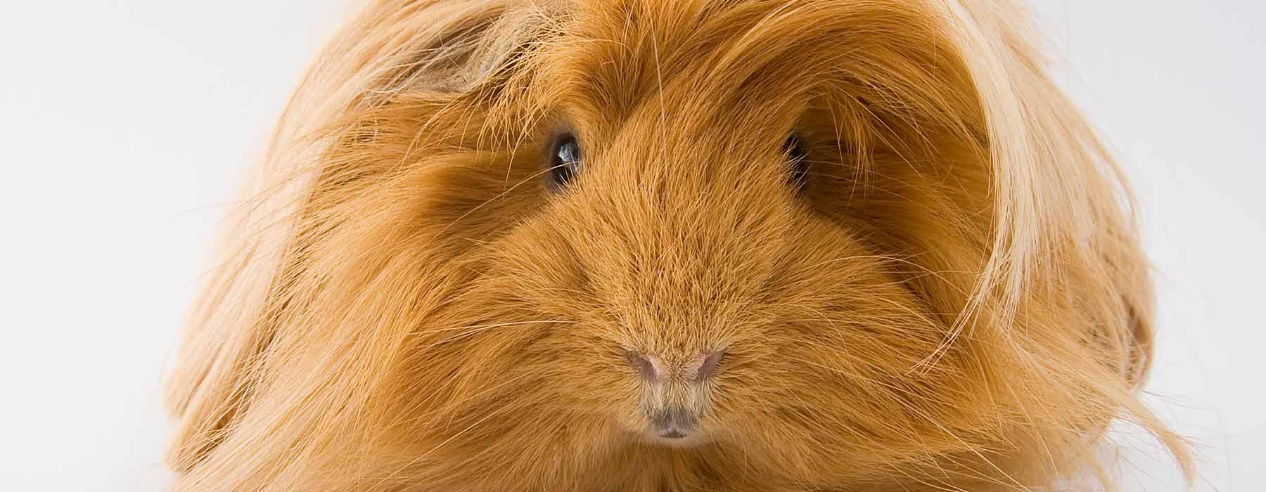 long haired ginger guinea pig