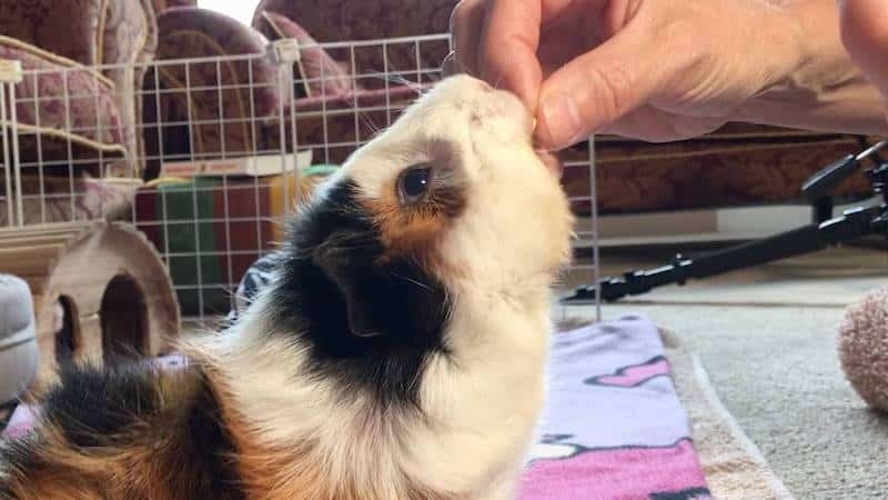 Hand feeding a pea flake to an Abyssinian guinea pig