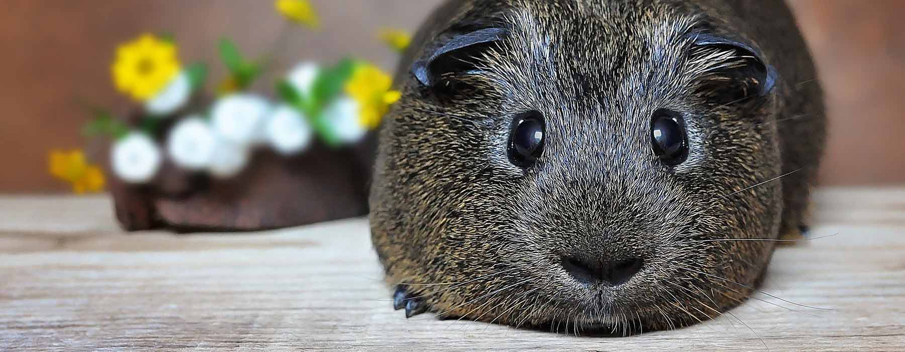 cute grey guinea pig relaxing