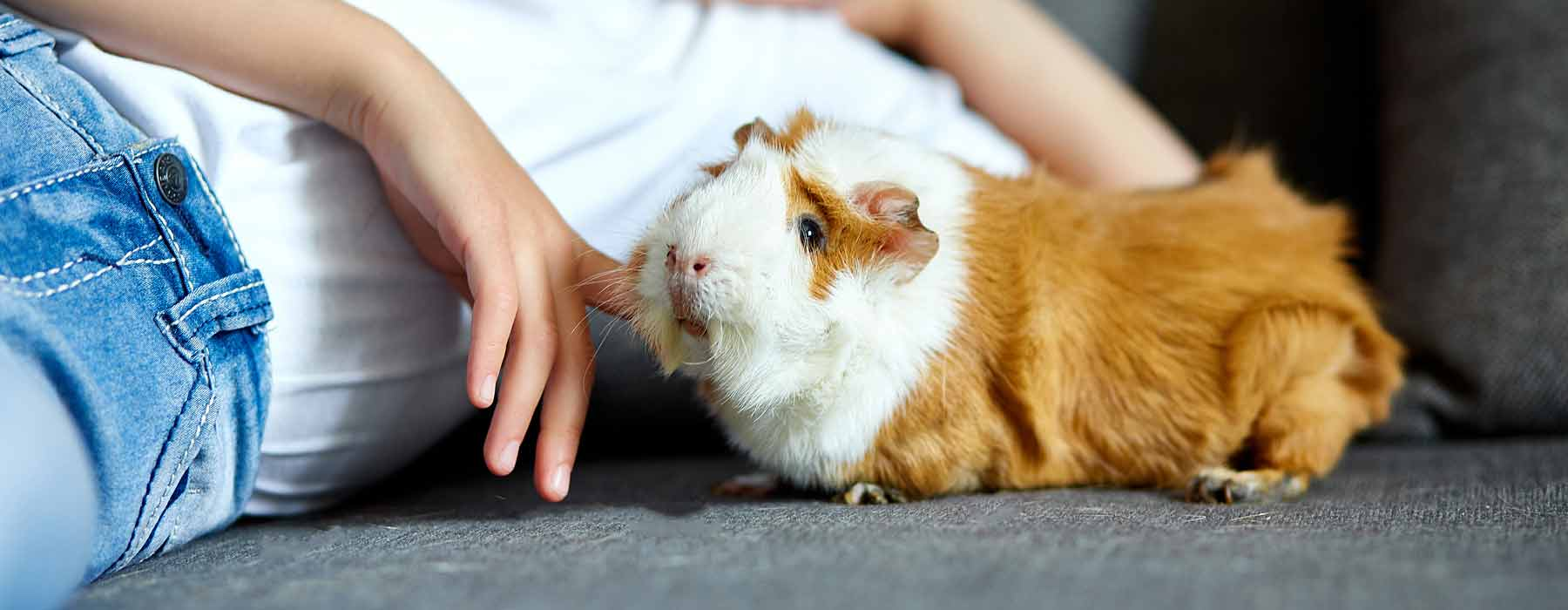 child laying on the floor with a ginger and white abyssinian guinea pig