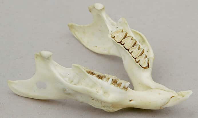 Guinea pig's lower jaw
