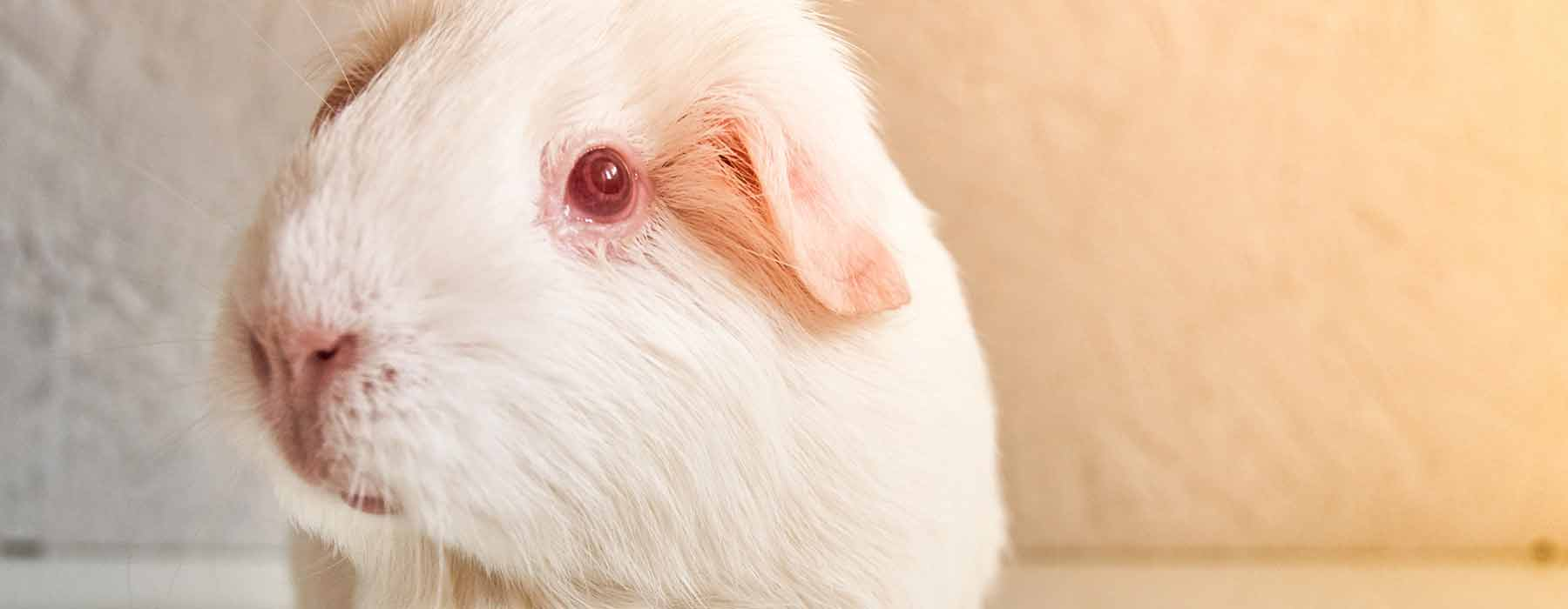 White guinea pig with pink eyes