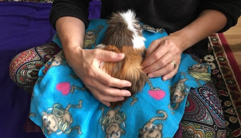 Abyssinian guinea pig on lap