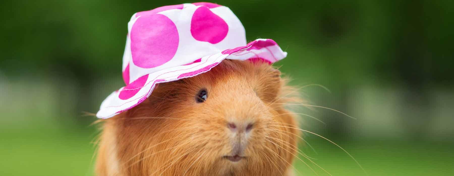 Guinea pig wearing a sun hat