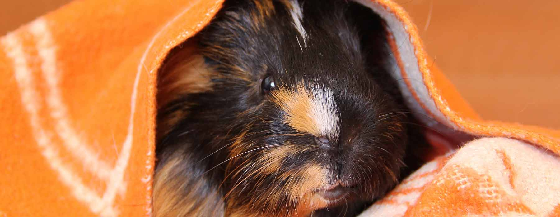 guinea pig hiding under fleece blanket