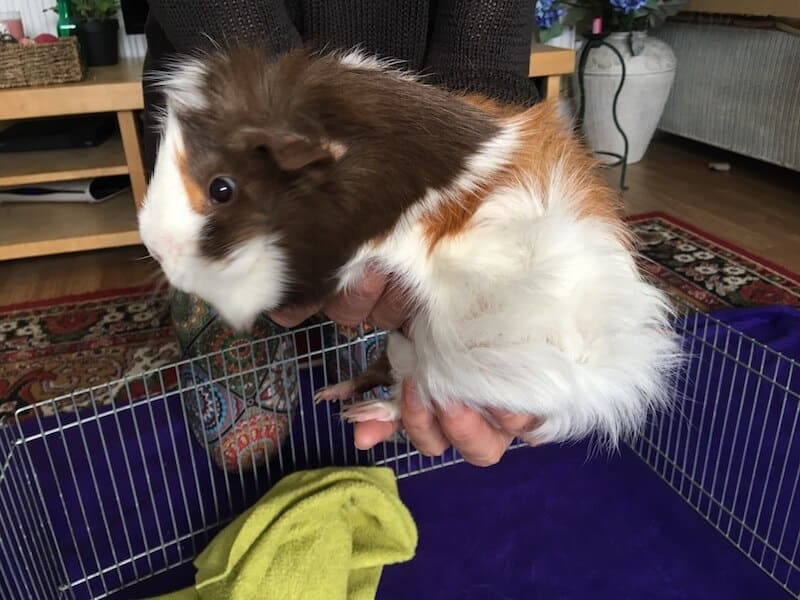 Abyssinian guinea pig being picked up