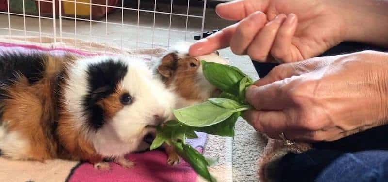 Taming guinea pigs with food