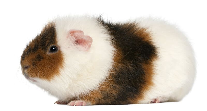 Teddy Guinea Pig breed with white and brown fuzzy hair