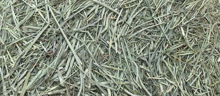Green and fresh quality Timothy Hay for guinea pigs