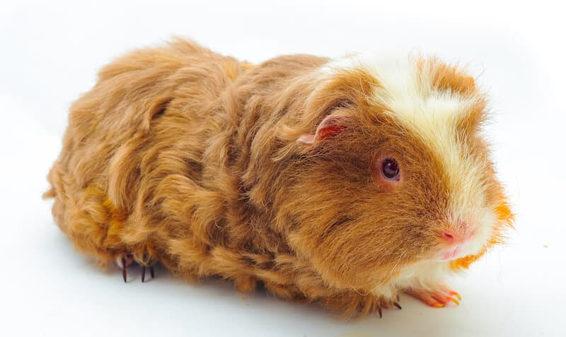 Merino guinea pig breed with curly ginger hair and  a strip of white on his face