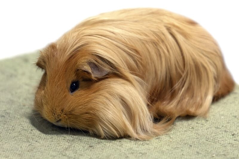 Silkie or Sheltie guinea pig breed with light brown long hair