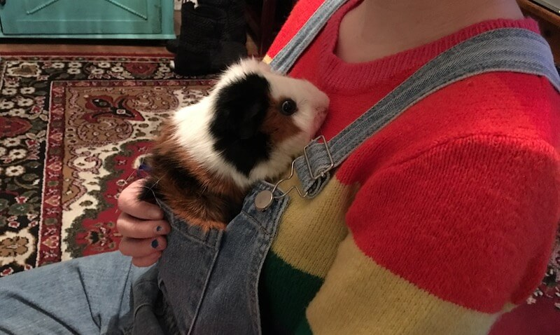 Abyssinian guinea pig in a pocket having  a cuddle