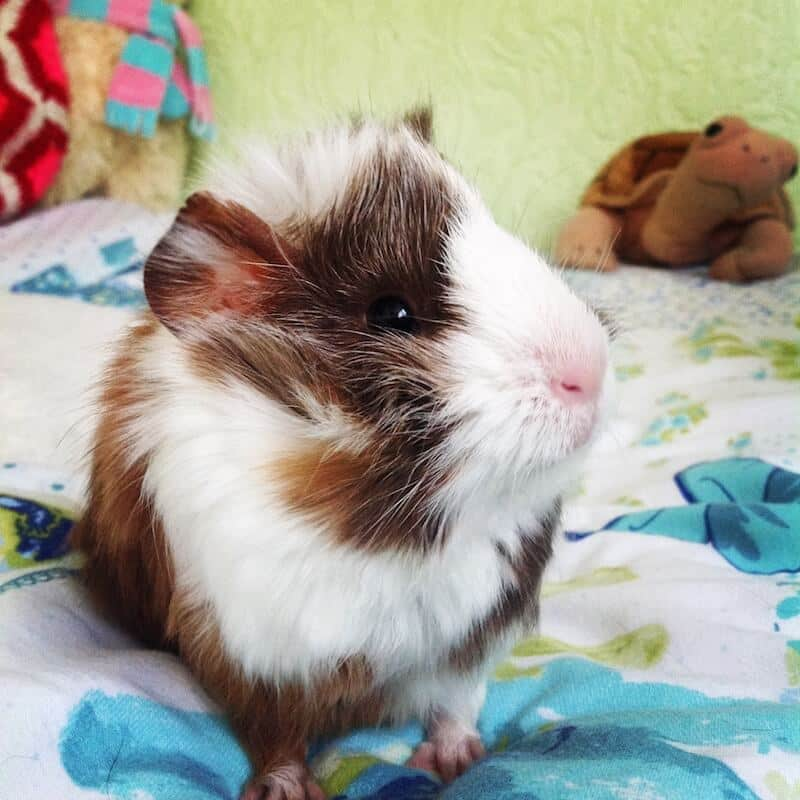 Baby Abyssinian Guinea Pig