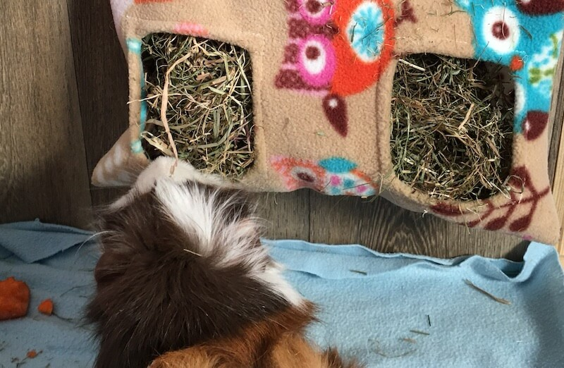 guinea pig eating hay from a fleece hay feeder