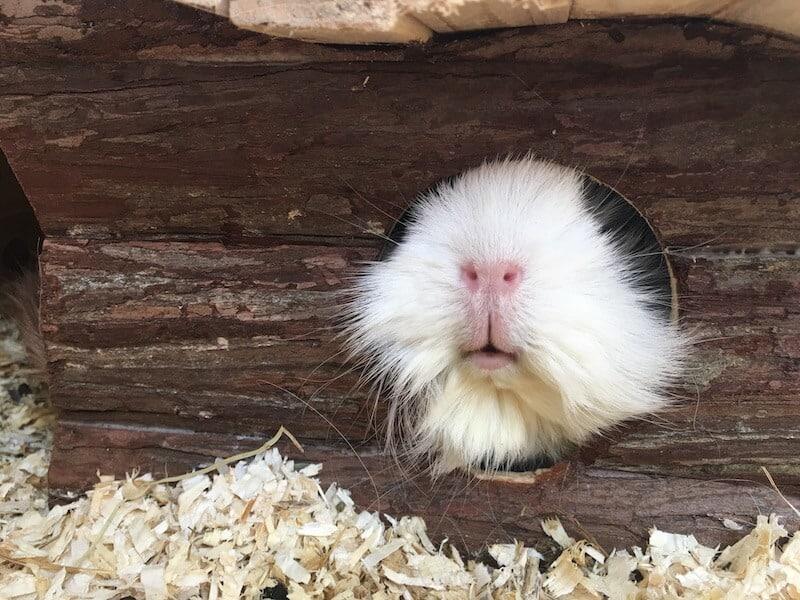 guinea pig peeking out of a log cabin hideout