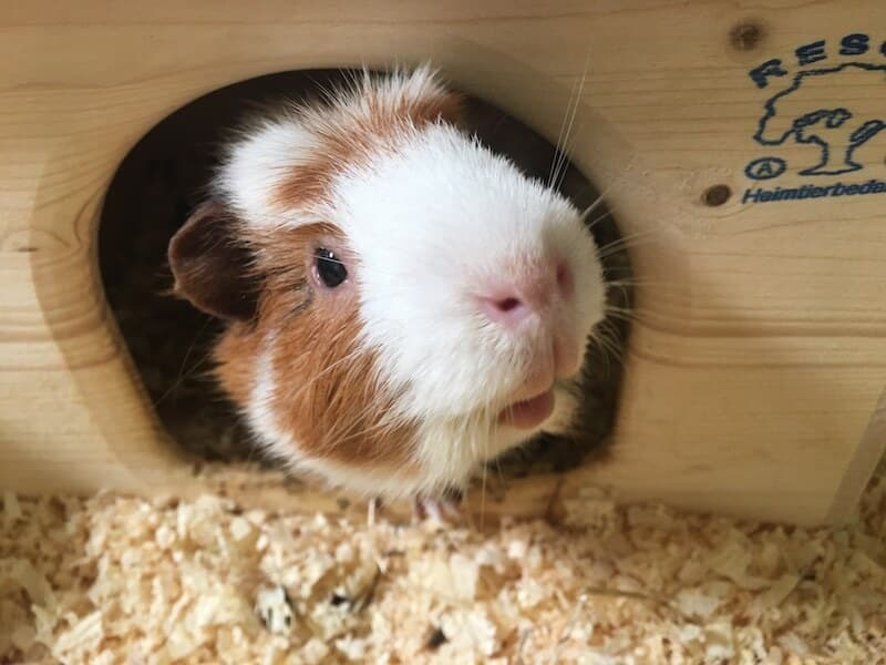 White and ginger guinea pig peeking out of a hideout