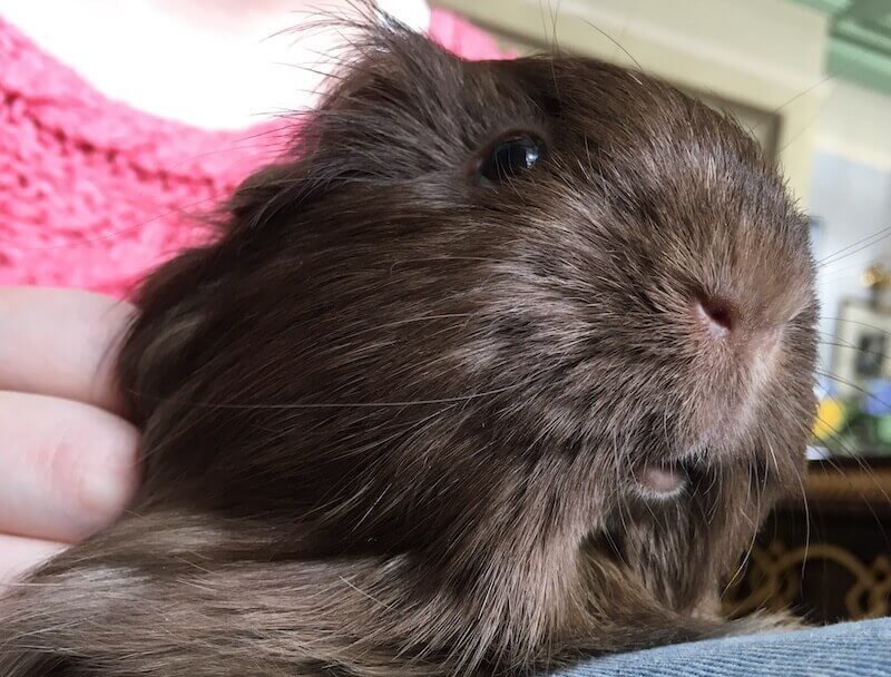 Brown Silkie guinea pig enjoying some attentioon