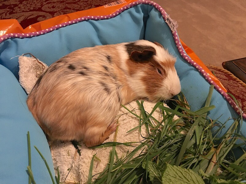 Smooth haired guinea pig asleep with  his eyes  closed on  a  bed