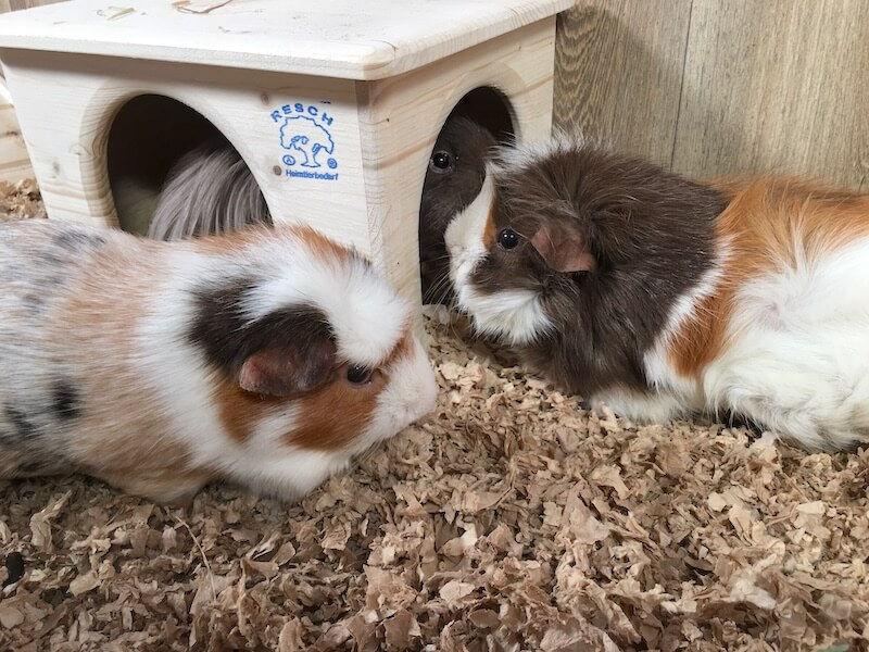 Three guinea pigs on paper bedding next to  a wooden hideout