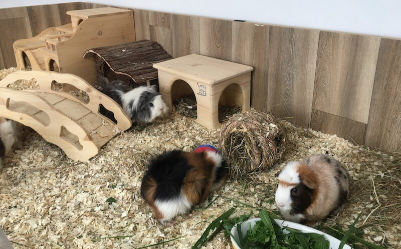 guinea pigs in a  very large indoor open cage