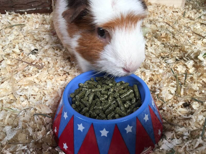 American crested guinea pig eating guinea pig pellets from a bowl