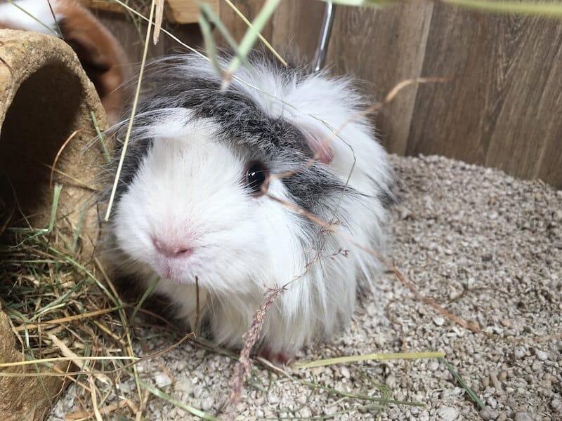 White and Grey Sheba Mini Yak guinea pig