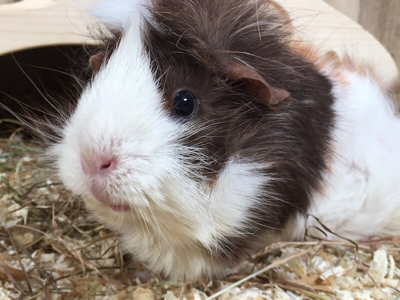 Close up of an Abyssinian guinea pig