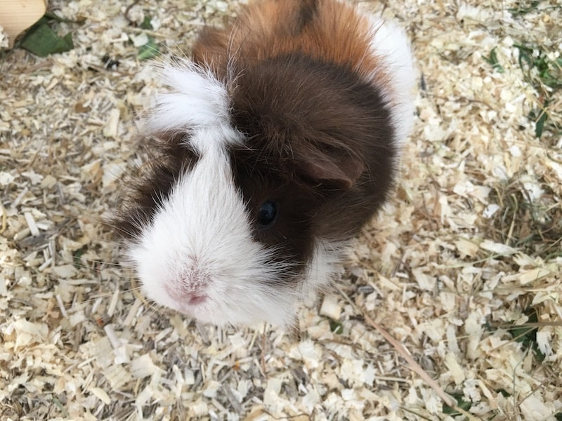 abyssinian guinea piig