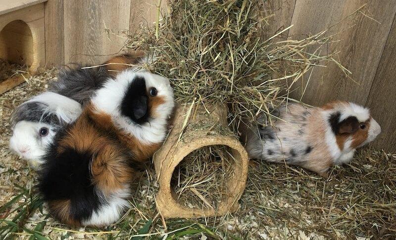 guinea pigs eating hay